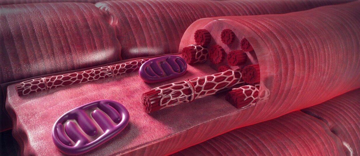Autoregenerarea inimii în urma atacurilor de cord, prin reprogramarea celulelor musculare